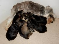 Mom and pups all snoozing together. Age:  2.5 weeks