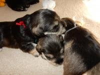 Sweet boys all snuggled.  Sponge using Upside Down as a chin rest and Pound alongside. Age: 2.5 weeks.