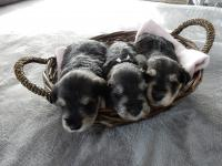 Here we have Marble, Battenberg and Angel huddled in the basket. Age: 3 weeks