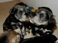 Sponge appearing to be giving Angel a kiss but licking food off each others faces! Age: 3.5 weeks