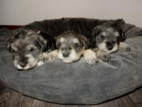Battenberg, Angel and Marble at 4 weeks old.