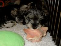 Marble is demonstrating how a Schnauzer (puppy or adult) can enjoy a raw bone. Age: 8 weeks
