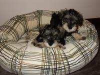 Enjoying lounging in the Bowser dog bed. Age: 8 weeks