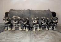 3 boys (Upside Down, Pound and Sponge) and 3 girls (Angel, Marble and Battenberg) - Age: 8 weeks