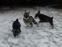 Puppies loved playing in a little snow for the first time. (Marble, Pound and Upside Down) - Age: 8 weeks