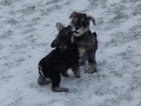 Having some fun and frolic in the snow. Age: 8 weeks